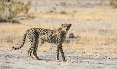Cheetah (Bob Stronck) Tags: fauna cheetah botswana moremigamereserve acinonyxjubatus megafauna ©rmstronck stronckphotocom