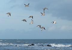 Curlews (chdphd) Tags: aberdeenshire stonehaven curlew numeniusarquata kincardineshire