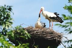 DSC_9356 Ooievaar nest