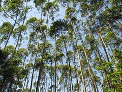 Eucalyptus Plantation/桉树林 (Liuzhou, Guangxi/广西柳州) 0219 (Petr Novák (新彼得)) Tags: china plant tree asia plantation asie eucalyptus 中国 strom 植物 树 guangxi liuzhou 广西 柳州 亚洲 rostlina eucalypti 森林公园 čína 桉树 桉树林 三门江森林公园 三门江 sanmenjiangforestpark sanmenjiang