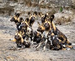Wild Dogs in Tanzania (MyKeyC) Tags: africa tanzania todd aaacolevanscd