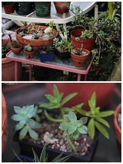 Succulents (KAYAMOONEY) Tags: cactus plants color canon garden 50mm natural bokeh jpeg succulents alienskin 60d