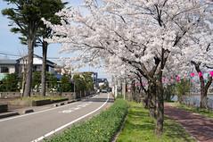 (bamboo_sasa) Tags: japan cherry spring blossoms  sakura cherryblossoms