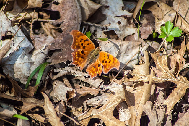 Versailles State Park - Comma butterfly - April 26, 2014