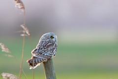 Last Post (Artisanart) Tags: bird nature sussex wildlife east short owl levels eared pevensey