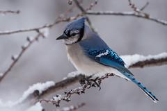 Blue Jay (snooker2009) Tags: blue winter snow storm bird nature jay wildlife bluejay dailynaturetnc13