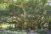 Banyon Tree (Francine Schumpert) Tags: nature cypressgardens legoland banyontree hugetree winterhavenfl nikond810 legolandflorida