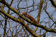 SQUIRREL! (LynG67) Tags: winter red scotland squirrel aberdeenshire january fyviecastle
