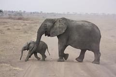 Elephant Mom & Baby Cross the Road