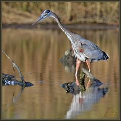 Bayou Exploration (WanaM3) Tags: bird heron nature water nikon texas wildlife ngc bayou pasadena canoeing paddling stumps greatblueheron gbh clearlakecity armandbayou d7100 wanam3 nikond7100