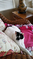 Lucy 2 (nhaps34) Tags: cats kittens kitties felines catsitter