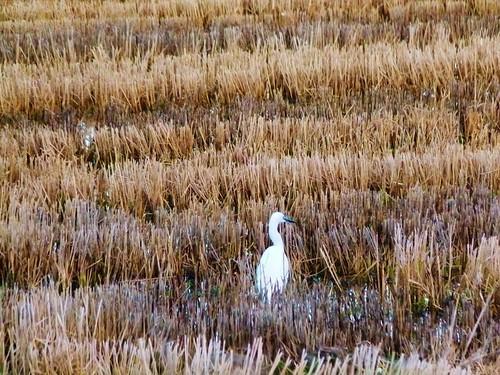 Arrozal en invierno - El Palmar - Parque Natural de la Albufera