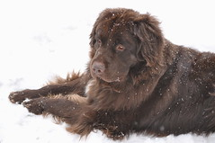 DSC_0032 (Putneypics) Tags: dog snow newfoundland puppy vermont putneypics