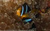 Amphiprion clarkii - poisson-clown de Clark - Clark's anemonefish 01.jpg
