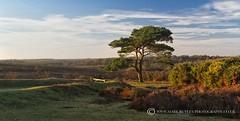 BRATLEY SUNRISE (mark_rutley) Tags: new light clouds forest sunrise dawn bracken singletree goldenhour lonetree lonelytree thenewforest scotspine bratleyview