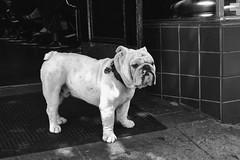 The Bouncer (RodG72) Tags: street blackandwhite bw bulldog wrinkles jowls