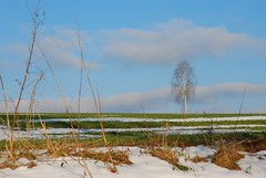 Die Birke ber Klausmarbach (Uli He - Fotofee) Tags: schnee nikon grn blau sonne uli blauerhimmel ulrike februar birke schneereste schneeschmelze nikond80 frhlingsahnung klausmarbach fotofee ulrikehe ulihe birkeimfeld