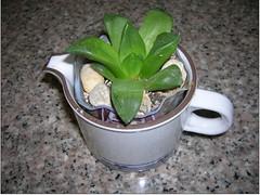 Cactus-Tillandsia-3a (cuirung) Tags: jade gollum haworthia airplant crassula felina faucaria perforata tigerjaw cactustillandsia bulbbolsa