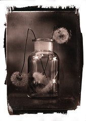 Dandelion VanDyke (2) (Nagy Krisztian) Tags: print dandelion vandyke collodion