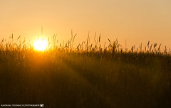 In the Evening Light 3. (andreasheinrich) Tags: nature grass silhouette germany deutschland evening abend spring warm natur may sunny mai gras sonnig frhling badenwrttemberg neckarsulm dahenfeld nikond7000