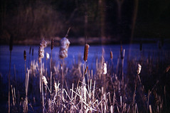 (Kelly Marciano) Tags: light film analog 35mm diy spring dof cattails fujifilm analogue canona1 selfdeveloped superia200 c41 westernmass colornegativefilm sundaydrives