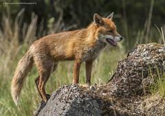red Fox Vulpes vulpes (Steven Mcgrath (Glesgastef)) Tags: uk light wild summer urban nature animal pose scotland glasgow wildlife country fox vulpes robroyston