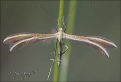 Merrifieldia leucodactyla. (Pep Aguad) Tags: macro nikon natura catalonia lepidoptera pterophoridae catalunya catalua insecte baixcamp bosc insecto macrofotografia lepidpter provtarragona pepaguad merrifieldialeucodactyla
