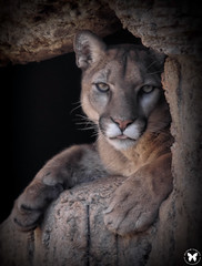 Dead Stare (ELAINE'S PHOTOGRAPHS) Tags: cats pumas felines bigcats cougars floridapanthers catamounts mountainlions animalswildlifenature