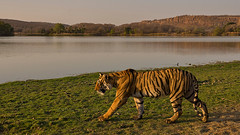 ADS_0000102670 (dickysingh) Tags: wildlife tiger tigers ranthambore indianwildlife ranthambhorenationalpark