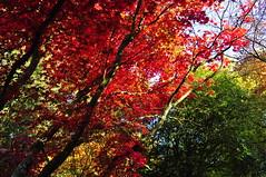 Tripping out on Autumn beauty (charlottehbest) Tags: november autumn trees colours arboretum gloucestershire autumncolours westonbirt autumnal westonbirtarboretum 2015 charlottehbest