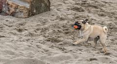 I Got it! (bill.finlay) Tags: beach pug