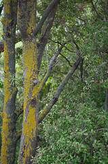 Green and yellow (Kiwi Jono) Tags: color colour tree green leaves yellow truck branch pentax lichen pentaxk5