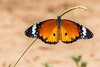 PGC_0639-20151022 (C&P_Pics) Tags: butterfly southafrica places za stlucia kwazulunatal capevidal insectsandspiders isamangaliso stluciapark southafrica2015