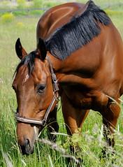 Hyvt rehut (Markoliini) Tags: nikon 70200 hevonen d300 hst