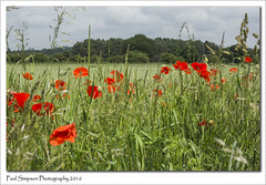 Roadside Poppies (Paul Simpson Photography) Tags: flowers trees england flower green nature grass farming surreal farmland seeds poppy poppies grasses summertime naturalworld redflowers greengrass summerflower ruralengland redpoppies photosof imageof rurallandscape photoof imagesof beautifulnaturephotos sonya77 paulsimpsonphotography scenesofsummer june2016