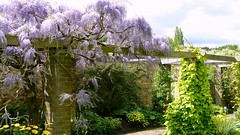Wisteria (richwall100 - Thank you for Two Million views) Tags: flower garden somerset blooms nationaltrust wisteria pergola barringtoncourt