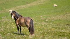 Lone Rider (JDWCurtis) Tags: wild horse nature field animal southwales wales nationalpark sheep wildlife breconbeacons depthoffield wildanimal farmanimal wildhorses farmanimals powys wildhorse breconbeaconsnationalpark bbcwalesnature