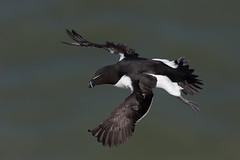 Razorbill Alca torda (grahamm2143) Tags: uk bird nature water canon fly outdoor wildlife flight telephoto razorbill alca torda