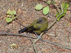 Bellbird (dracophylla) Tags: newzealand bellbird anthornismelanura codfishisland whenauhoa