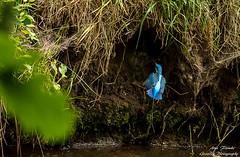 Eisvogel(Alcedo atthis) im Landeanflug in seine Bruthhle-Common Kingfischer-Wildlife,Northern Germany-BremenArne Flemke (Cristoforo Colombo) Tags: eisvogel wmme blockland nikon sigma kingfisher