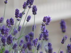 Lavendel Makro (aliko1982) Tags: lavanda lavendel