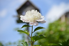 Untitiled (lacey.puskaric) Tags: flowers summer inspiration flower love nature spring natural peony zen inspire peonies