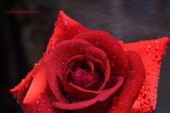 .... dal mio giardino                                                                                    Buona giornata e weekend a tutti  (lefotodiannae) Tags: macro rose rosa dal mio fiore pioggia giardino rossa goccioline lefotodiannae