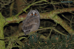 Long-eared Owl, Asio otus (Midlands Reptiles & British Wildlife Diaries) Tags: christmas orange baby david tree sexy bird ecology beautiful pine fauna forest canon woodland wonderful spectacular photography amazing eyes flora gate long photos wildlife gorgeous hunting nixon chick 7d owl buy prints l sensational british prey lovely calling ltd staffordshire 100400mm lts owls coniferous longearedowl midlands eared squeaky chirpy asiootus 100400 7d2 7dmkii faunaforest