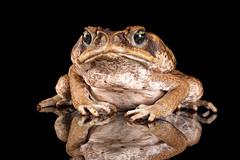 Cane Toad, CaptiveLight, Bournemouth, UK (rmk2112rmk) Tags: uk amphibian frog toad bournemouth herps canetoad captivelight rhinellamarina