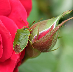 A rose lover - (rotraud_71) Tags: garden macro bokeh rose insect blattwanze leafbug fantasticflower