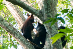 _DSC3685-2 (KewliePhotos) Tags: bear cub virginia nationalpark wildlife bears shenandoah shenandoahvalley blackbear blackbears bearcub shenandoahnationalpark blackbearcub