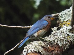 Eastern Bluebird, June 27, 2016 (gurdonark) Tags: bird birds wildlife bob woodruf woodruff easternbluebirdbirdbirdswildlifebreckinridgeparkrichardson