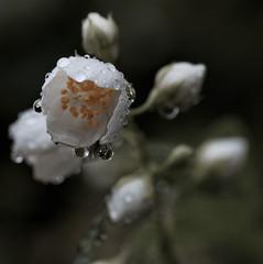 Blte mit Regentropfen (malp007) Tags: blte blossom macro makro busch hecke regen rain regentropfen raindrop