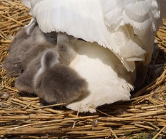 Cygnets at Abbotsbury Swannery (Annette Rumbelow) Tags: water pen swan feathers swans naturereserve cob cygnets nesting swannery beautifulfeathers abbotsburyswannerydorset annetterumbelowwilson swansfreetofly siteofspecialscientificinterestsssiaspecialprotectedspaandaspecialareaofconservationsac